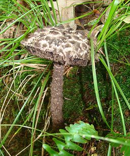 Old Man of the Woods mushroom