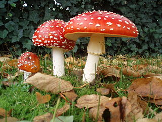 The fly agaric mushroom, Amanita muscaria, was used by Koryak shamans in Siberia, and possibly other ancient cultures as well. Photo by Onderwijsgek. Licensed under Creative Commons Attribution-ShareAlike 3.0 Netherlands.