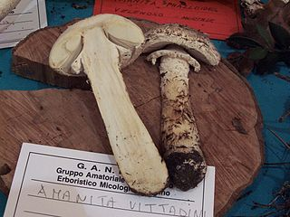 "Amanita vittadinii is a European Lepidella that's the ""type species"" for section Lepidella. It does not have much of a bulb at the base of the stem. Photo by Roberto Petruzzo. Public Domain photograph."
