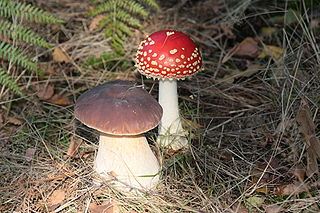Boletus edulis and Amanita muscaria